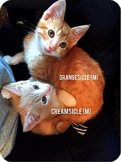 Domestic Shorthair Kitten for adoption in Bentonville, Arkansas - Creamsicle