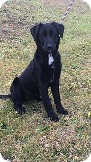 Labrador Retriever Mix Dog for adoption in Cadiz, Ohio - ADELE