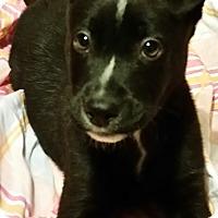 Adopt A Pet :: Ziggy - Detroit, MI