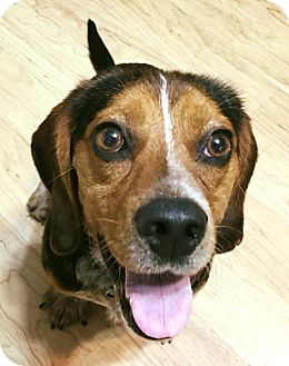 Beagle Mix Dog for adoption in Nashville, Tennessee - Copper Top