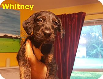 Catahoula Leopard Dog/Shepherd (Unknown Type) Mix Puppy for adoption in New York, New York - Whitney