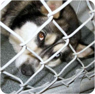 "Alaskan Malamute/Husky Mix Dog for adoption in Various Locations, Indiana - ""Isabella"" is VERY URGENT"