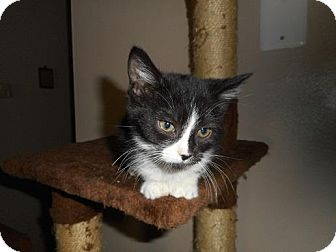 Domestic Shorthair Kitten for adoption in Northfield, Ohio - Spike-ette