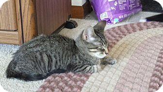 Domestic Shorthair Kitten for adoption in Middleton, Wisconsin - Monroe