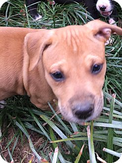 Boxer/American Pit Bull Terrier Mix Puppy for adoption in Allentown, Pennsylvania - Pumpkin  (ETAA)