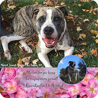 American Bulldog Dog for adoption in albany, New York - EMMIE LOU