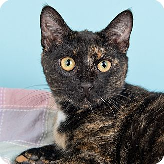 Domestic Shorthair Cat for adoption in Wilmington, Delaware - Phe
