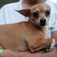 Chihuahua Dog for adoption in West Palm Beach, Florida - Nahlah