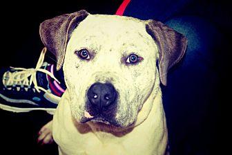 American Bulldog Mix Dog for adoption in Roswell, Georgia - Gomez