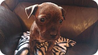 American Bulldog Mix Puppy for adoption in Tampa, Florida - Cocoa