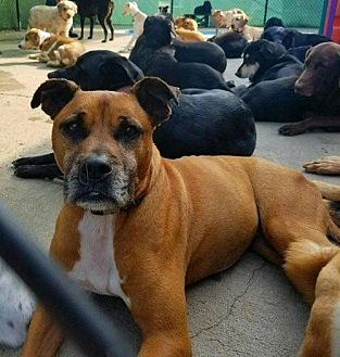 Boxer Mix Dog for adoption in Whitestone, New York - Zeal