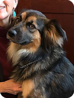German Shepherd Dog/Collie Mix Dog for adoption in Billerica, Massachusetts - Bert