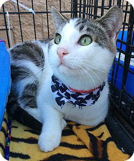 Domestic Shorthair Cat for adoption in Mt Pleasant, Pennsylvania - Solemen