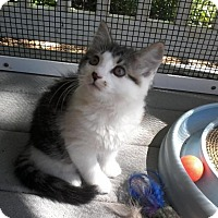 Adopt A Pet :: Gem -G-Group Kittens - Arlington, VA