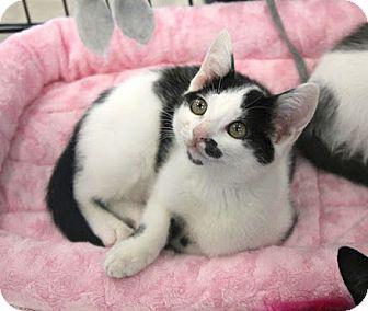 Domestic Shorthair Kitten for adoption in Studio City, California - Milan