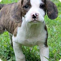 Adopt A Pet :: Manfred - Glastonbury, CT