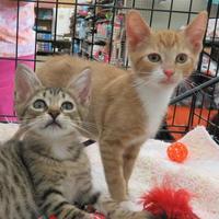 Adopt A Pet :: Nacho - Ellicott City, MD