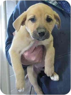 Labrador Retriever Mix Puppy for adoption in Florence, Indiana - Wynonna
