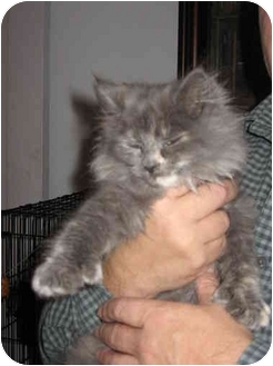 Persian Kitten for adoption in Farmington, Michigan - Cinders: Maine/Persian Mix