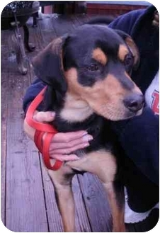 German Shepherd Dog/Rottweiler Mix Dog for adoption in North Benton, Ohio - Awesome Jack
