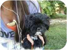 Shih Tzu/Poodle (Miniature) Mix Puppy for adoption in Algonquin, Illinois - Lancelot