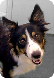 Border Collie Puppy for adoption in Salt Lake City, Utah - Gracie