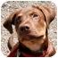 Photo 3 - Rottweiler/Shepherd (Unknown Type) Mix Puppy for adoption in Phoenix, Oregon - Tucker
