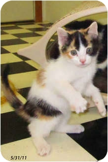 Calico Kitten for adoption in Republic, Washington - Alegria