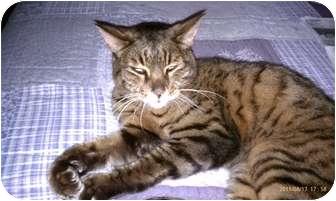 Bengal Cat for adoption in Morgan Hill, California - Simba