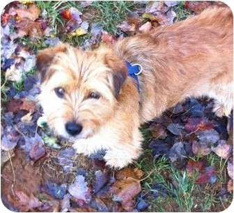 Silky Terrier/Fox Terrier (Toy) Mix Dog for adoption in New Jersey, New Jersey - NJ - Davie