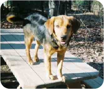 Beagle/Golden Retriever Mix Puppy for adoption in Waldorf, Maryland - Blue Moon (aka Moonie)