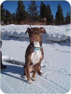 Mastiff/Pit Bull Terrier Mix Dog for adoption in Tujunga, California - New York