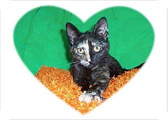 Abyssinian Kitten for adoption in Taylor Mill, Kentucky - Prim