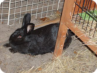 Mini Rex Mix for adoption in St Johns, Florida - Kassidy