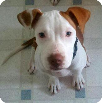 American Staffordshire Terrier Mix Puppy for adoption in Troy, Michigan - Molly