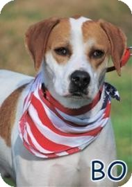 Hound (Unknown Type)/American Bulldog Mix Dog for adoption in Georgetown, South Carolina - Bo