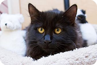 Domestic Longhair Kitten for adoption in Irvine, California - Ponyboy