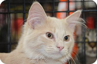 Maine Coon Kitten for adoption in Harrisburg, North Carolina - Tango