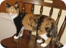 Domestic Shorthair Cat for adoption in Modesto, California - Gigi