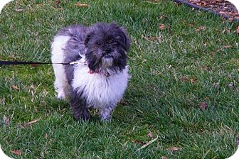 Shih Tzu Mix Dog for adoption in Harrisburgh, Pennsylvania - Jasmine