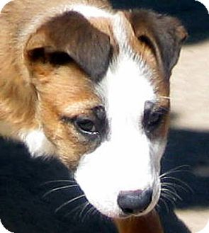 Border Collie/Australian Shepherd Mix Puppy for adoption in Oakley, California - Baby Alana