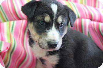 Husky/Labrador Retriever Mix Puppy for adoption in Garden City, Michigan - Mimosa