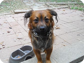 Pomeranian/Chihuahua Mix Dog for adoption in Charlotte, North Carolina - Rocko