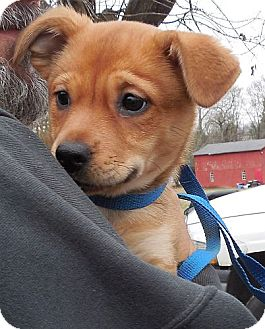Chihuahua/Pomeranian Mix Puppy for adoption in Hagerstown, Maryland - Little Lana