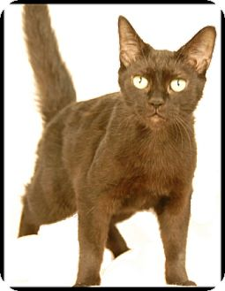 Domestic Shorthair Cat for adoption in Newland, North Carolina - Chloe