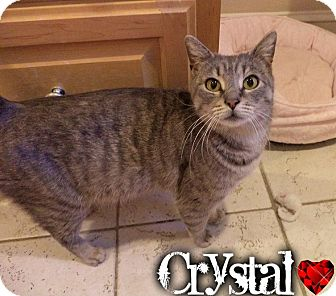 Domestic Shorthair Cat for adoption in River Edge, New Jersey - Crystal