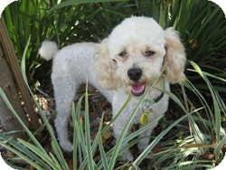 Poodle (Toy or Tea Cup) Dog for adoption in Melbourne, Florida - WILLY