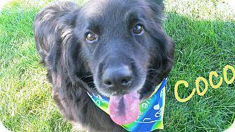 """Labrador Retriever/Collie Mix Dog for adoption in Cleveland Heights, Ohio - Coco~The """"Dream"""" dog"""