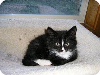 Domestic Longhair Kitten for adoption in Salem, Oregon - Matt