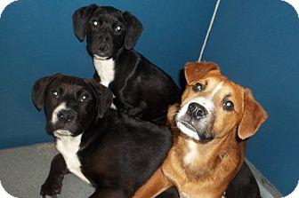 Labrador Retriever Mix Puppy for adoption in Warrenton, North Carolina - Riley, Roxy and Oliver